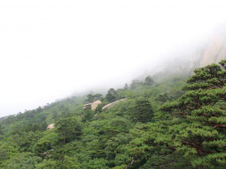 Pine Canopy