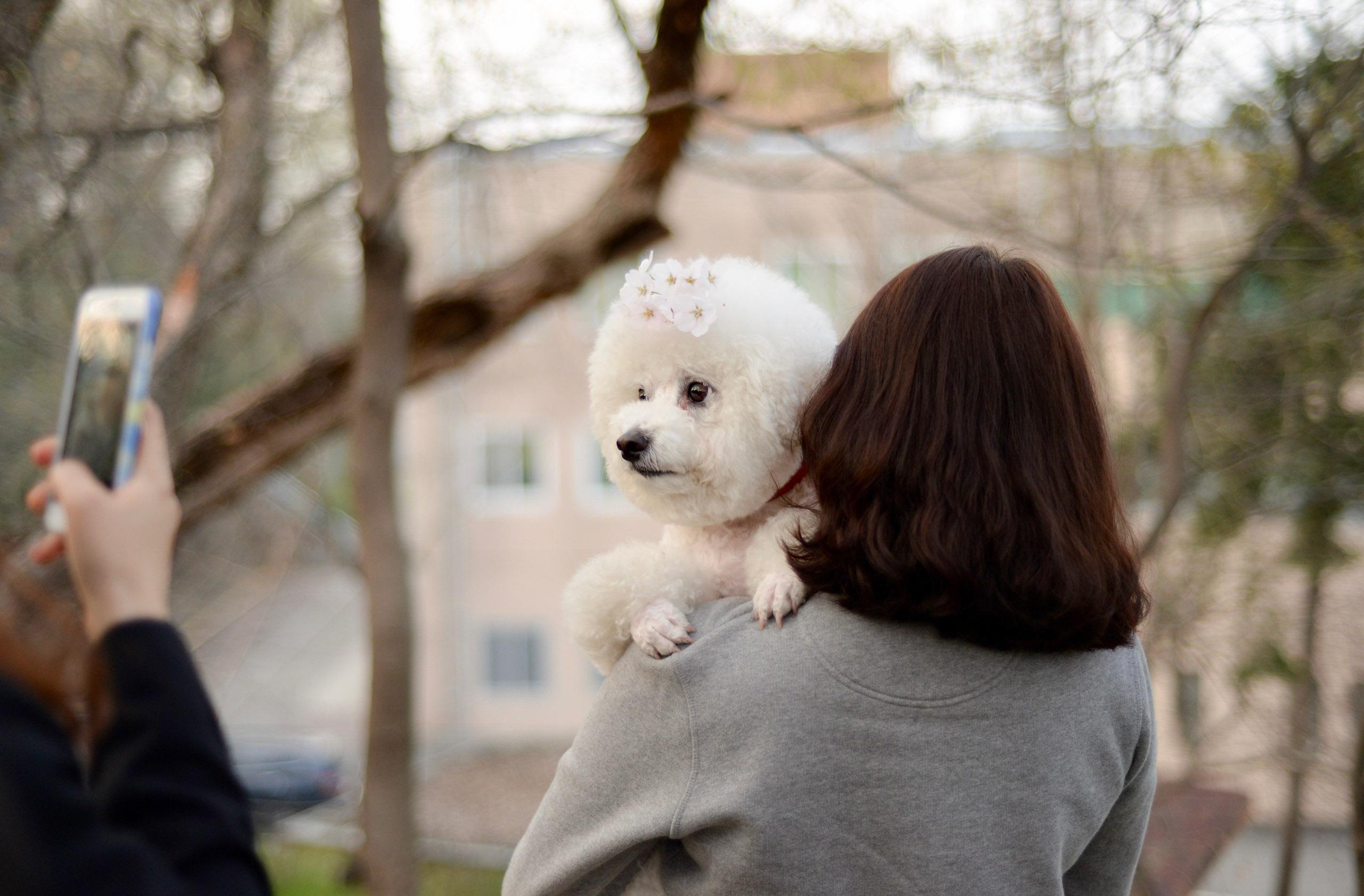"""Cherry Blossom Pup,"" Bryan Betts, Jeonju"